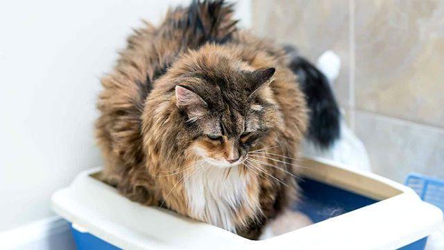 Кровавый понос у кошки при анкилостомозе