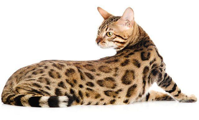 Причины вялости бенгальского кота