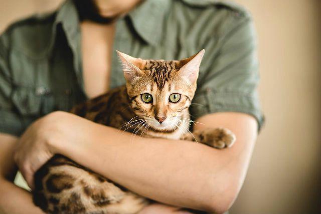 Бенгальский котенок на руках