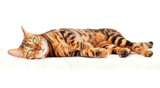 Вялость у бенгальского кота
