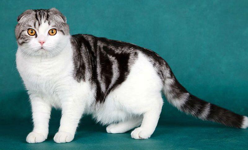 Шотландские кошки - окрасы