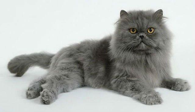 Персидская серая кошка