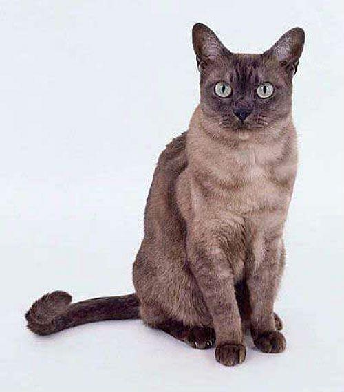 Серая азиатская дымчатая кошка