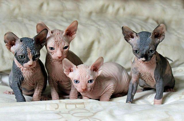 Маленькие котята породы сфинкс