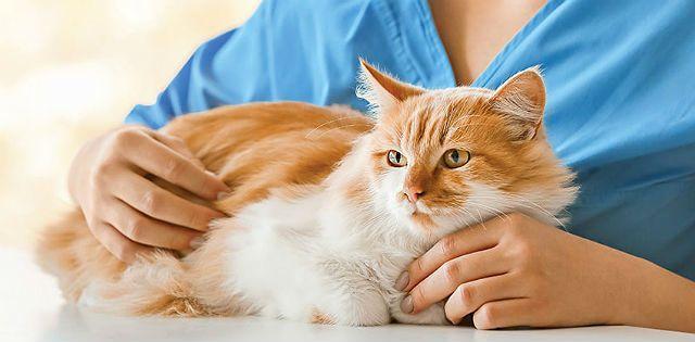 Лечение холецистита у кошки