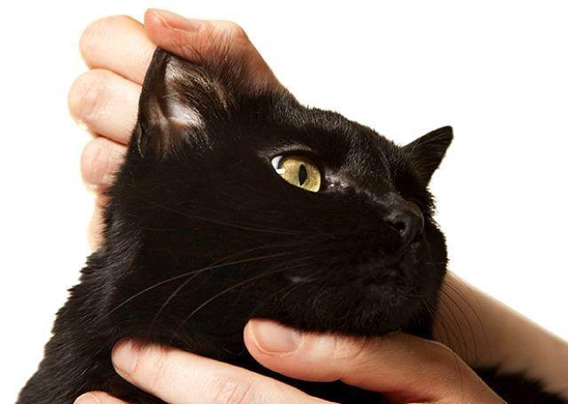 Симптомы ушного клеща у кошек