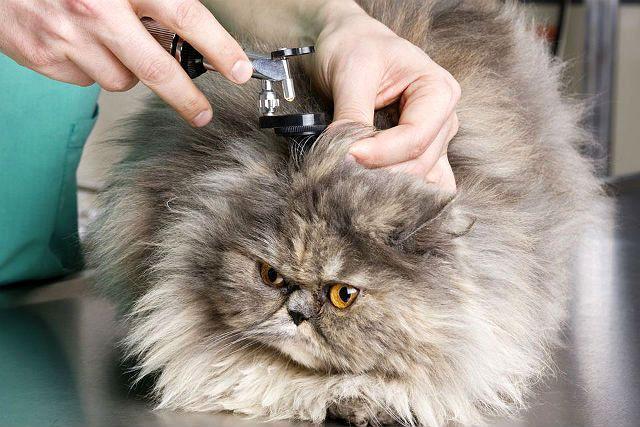 Диагностика отодектоза у кошки