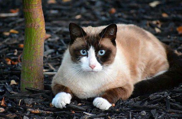 Сноу-шу - красивый кот