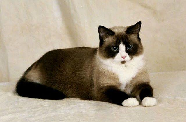 Сноу-шу - порода кошки