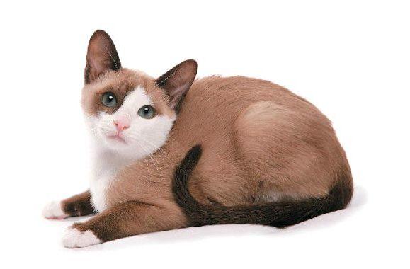 Порода кошки Сноу-шу