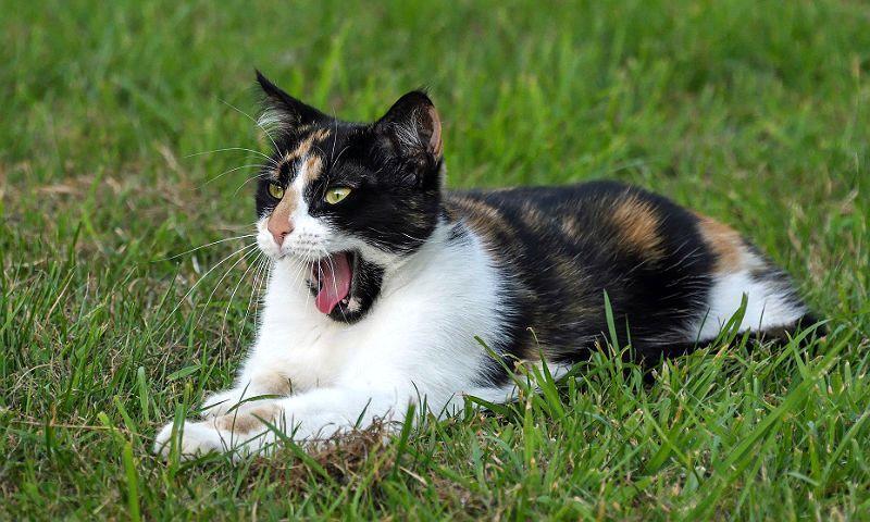 Трехцветная кошка - главное фото