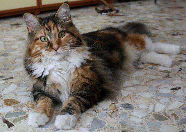Трехцветная кошка мейн-кун