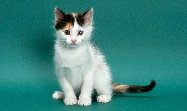 Турецкий ван - трехцветный котенок