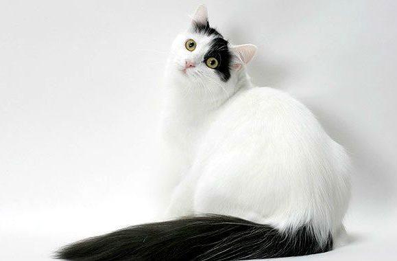Турецкий ван черно-белого окраса