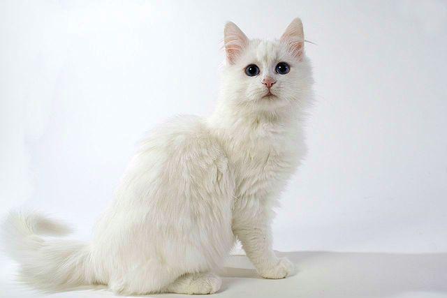 Турецкий ван - котенок