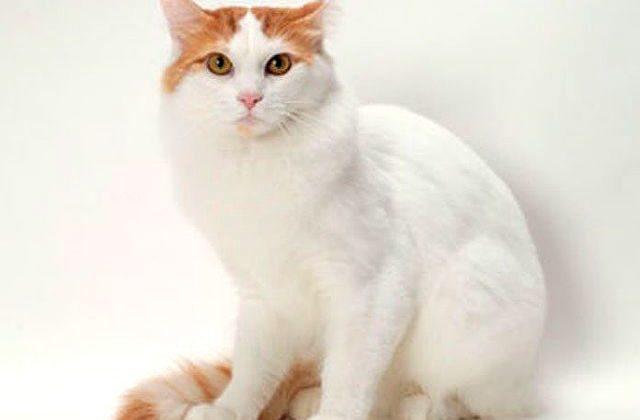 Крупный кот Турецкий ван