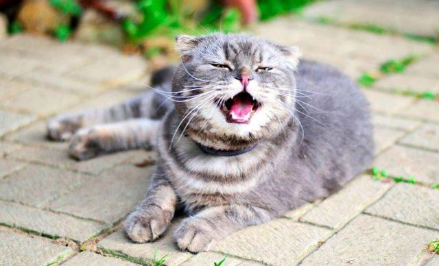 Вирусный ринотрахеит у кошки