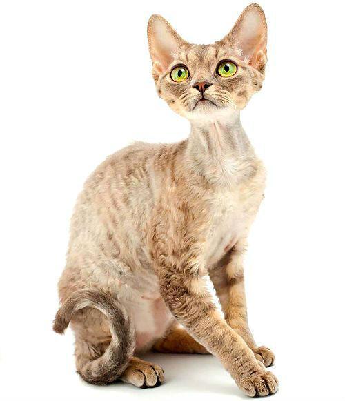 Алопеция у кошки в области шеи