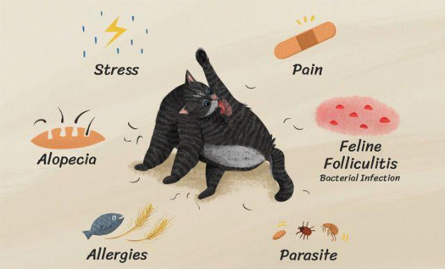 Причины алопеции у кошки