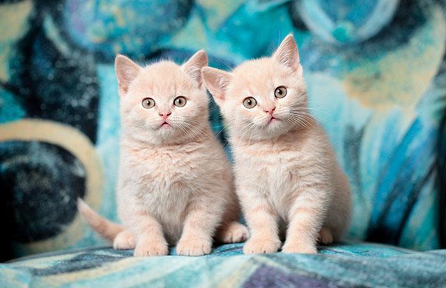 Британские персиковые котята