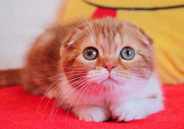 Рыжий вислоухий кот