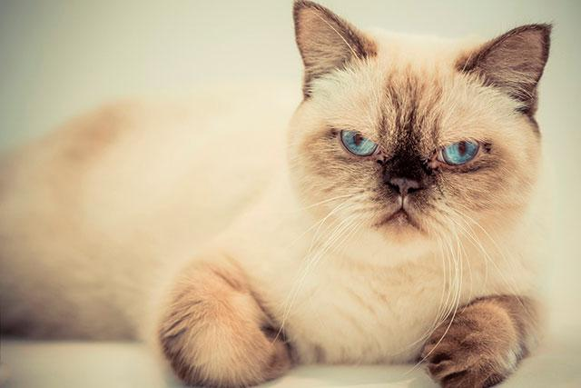 Смесь британца и сиамского кота