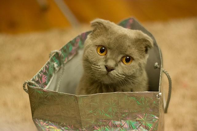Метис шотландской и обычной кошки