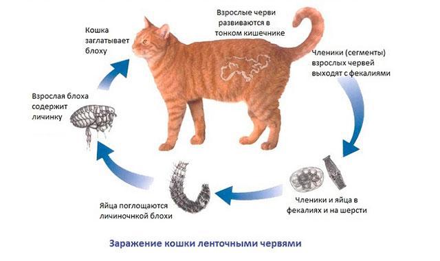 Заражение кошки огуречным цепнем