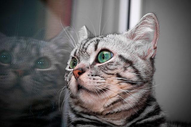 Кошка с серебристым мехом в полоску