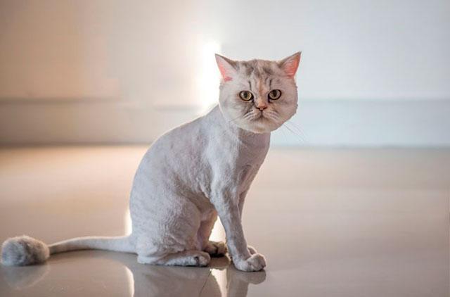 Стриженый британский кот