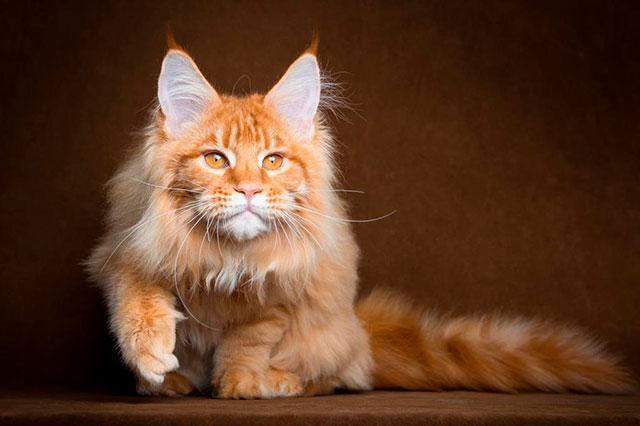 Рыжий кот мейн-кун