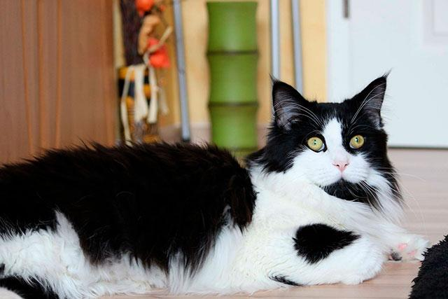Черно-белый кот мейн-кун