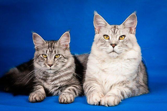 Кот и кошка мейн-куны