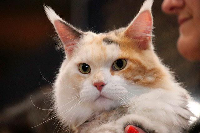 Взрослая кошка мейн-кун