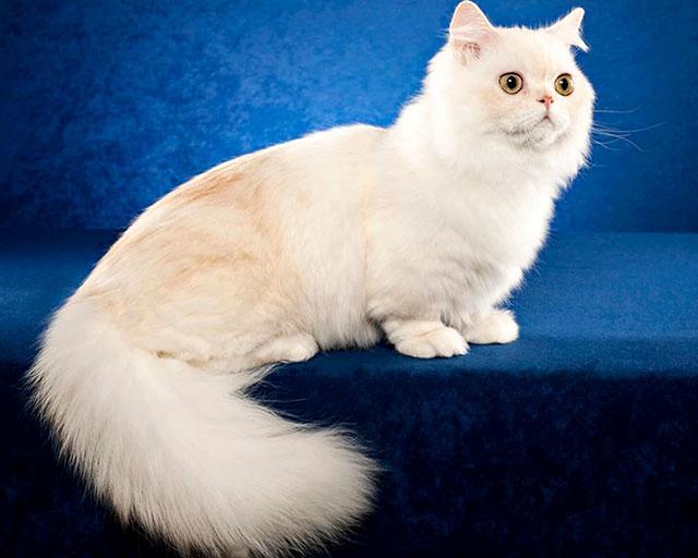 Порода кошек наполеон (менуэт)