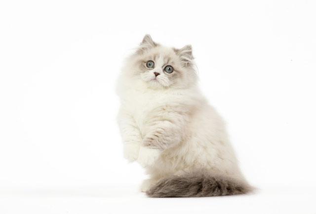 Коротконогая длинношерстная кошка наполеон