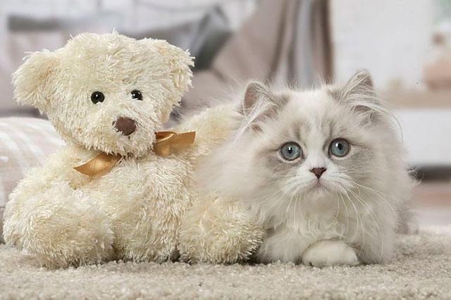 Длинношерстная кошка менуэт