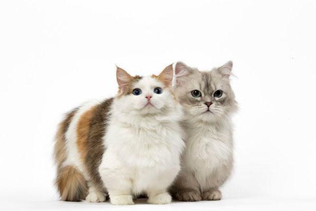 Коты породы менуэт