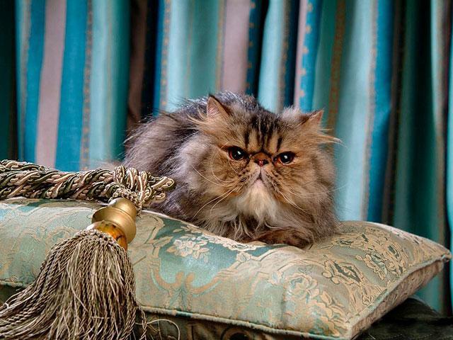 Персидская элитная кошка