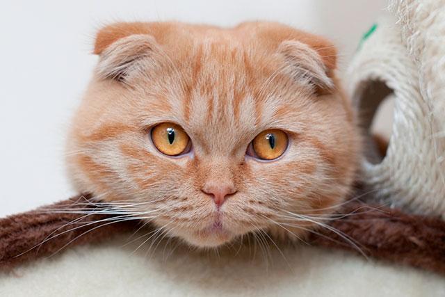 Рыжая шотландская вислоухая кошка