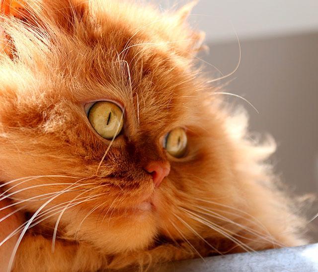 Персидская порода кошек предрасположена к слезотечению