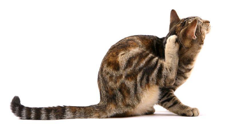 Блохи у кошки - признаки