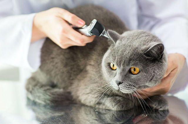Болезни британских кошек - отодектоз