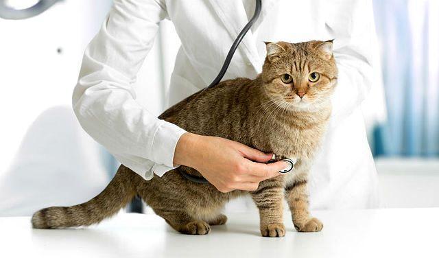 Болезни британских кошек - признаки