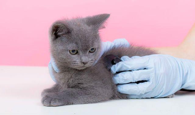 Болезни британских кошек - гастрит