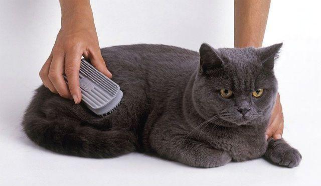 Профилактика болезней у британских кошек