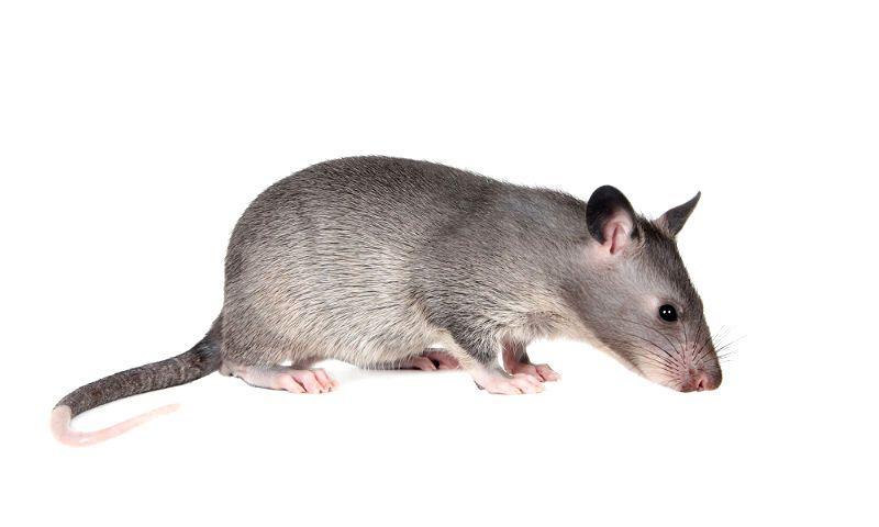 Гамбийская крыса - главное фото