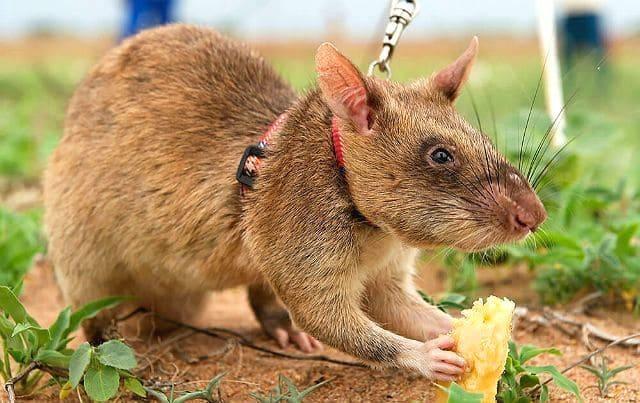 Гамбийская крыса на поводке