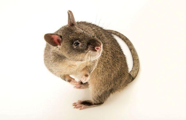 Гамбийская крыса - содержание в домашних условиях