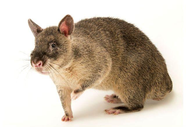 Гамбийская крыса - внешний вид
